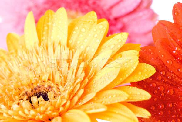 Różowy kroplami wody wiosną miłości tle Zdjęcia stock © artjazz