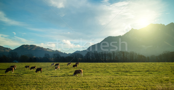 Magnificent Alpine landscape with cows grazing on the meadow at sunrise. Stock photo © artjazz