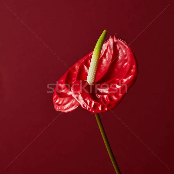 Stock photo: red flower on red background