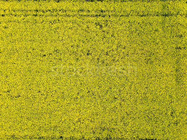 Aerial view of yellow rapeseed field a spring day Stock photo © artjazz