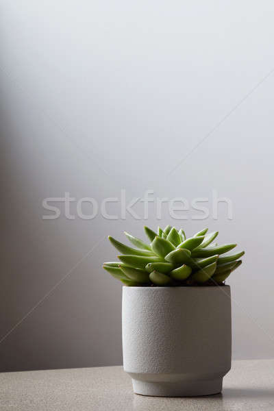 Fresh succulent plant in stone pot on light background. Stock photo © artjazz