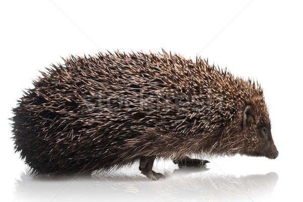 hedgehog isolated on white Stock photo © artjazz