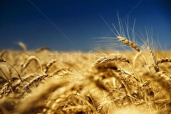 gold wheat and blue sky Stock photo © artjazz