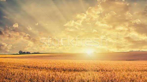 Dorado campo de trigo puesta de sol hierba paisaje verano Foto stock © artjazz
