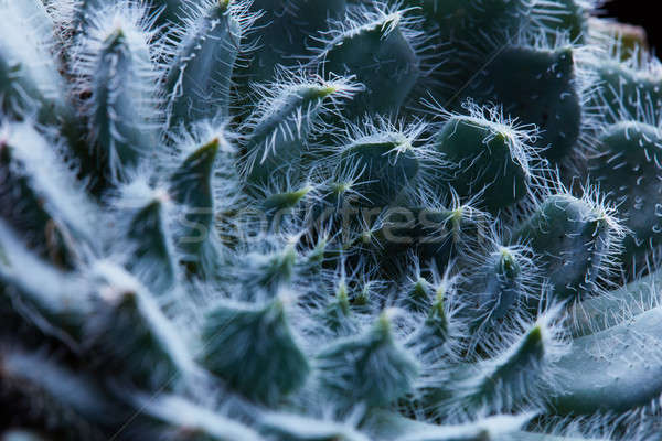 Macro Photo of a round flower of succulent Echeveria Bristly Stock photo © artjazz