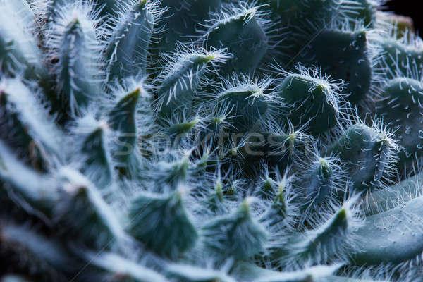 Macro foto fiore succulente naturale pattern Foto d'archivio © artjazz