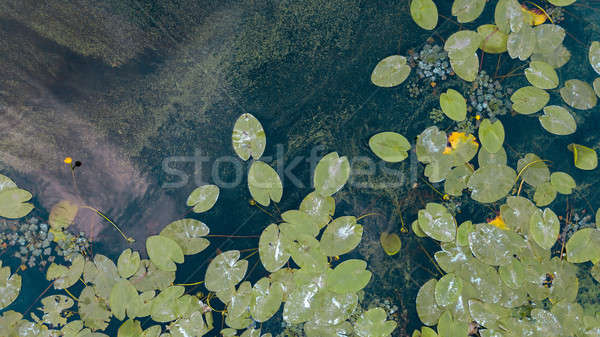 Beautiful white and yellow waterlily or lotus flower in pond. Aerial view from the drone Stock photo © artjazz