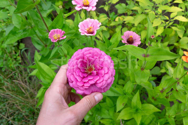 Parterre de fleurs floraison rose jardin main fleur Photo stock © artjazz