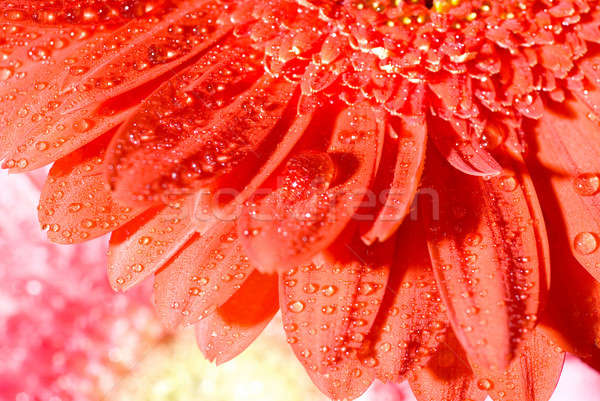 Close up red daisy-gerbera with water drops and shallow focus Stock photo © artjazz