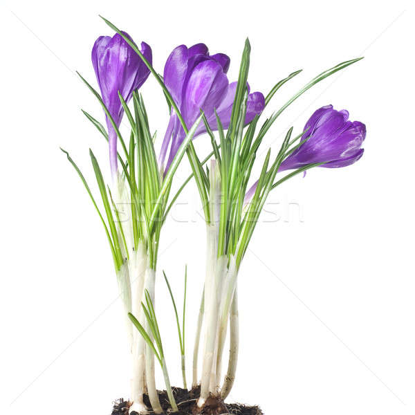crocus bouquet isolated on white Stock photo © artjazz
