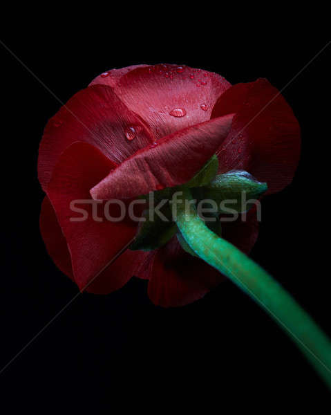 Close up red Persian buttercup flower with water drops isolated  Stock photo © artjazz