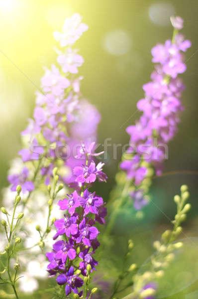 Lata różowy kwiaty charakter tle dziedzinie Zdjęcia stock © artjazz