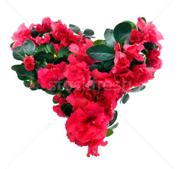 Hart azalea bloemen valentijnsdag geïsoleerd witte Stockfoto © artjazz