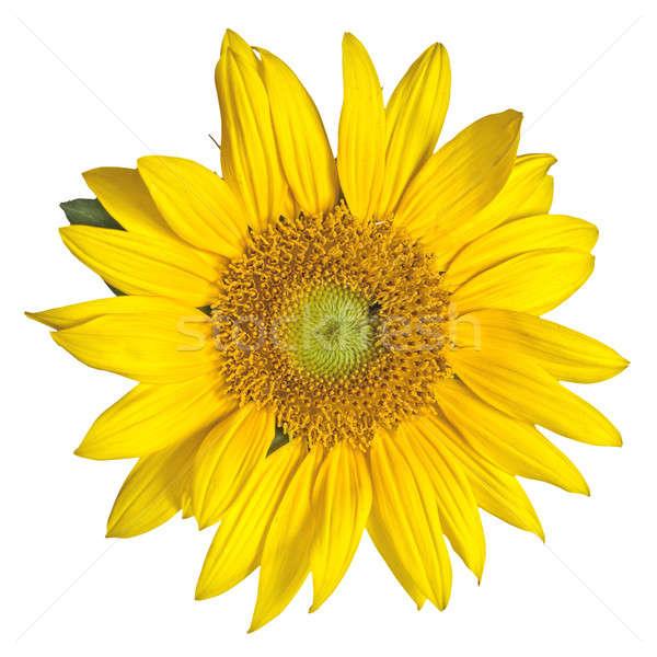 sunflower isolated on white Stock photo © artjazz