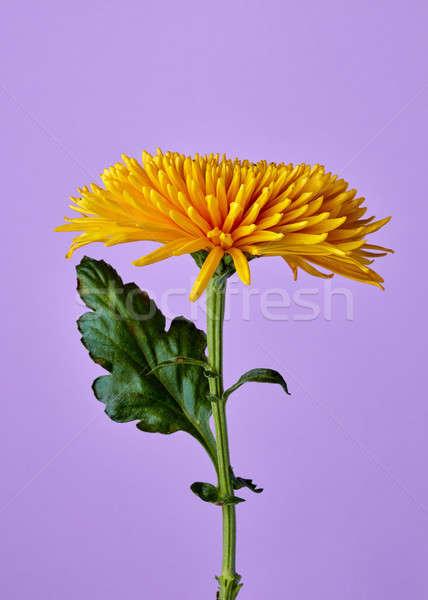 Sarı krizantem yalıtılmış mor güzel sarı çiçek Stok fotoğraf © artjazz