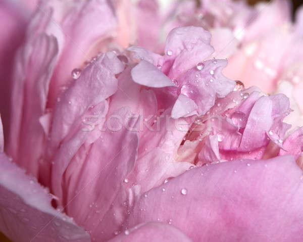 Stock photo: Macro photo of pink peony flower with transparent drops of dew.
