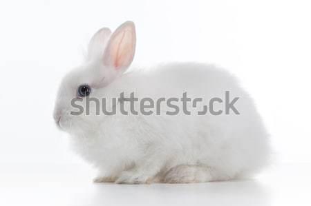 White rabbit isolated on white background Stock photo © artjazz
