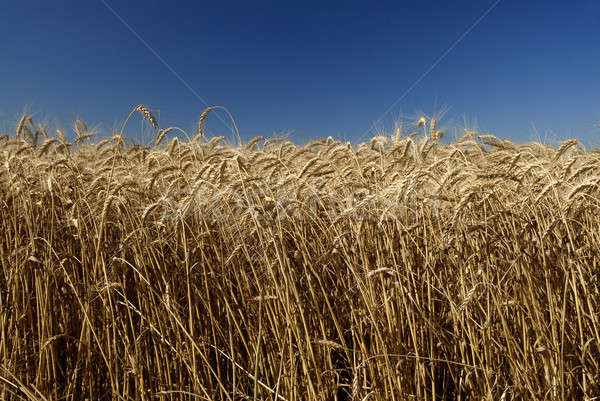 Field of gold wheat and blue sky Stock photo © artjazz