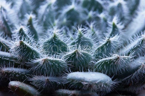 Flor suculento planta belo incomum Foto stock © artjazz