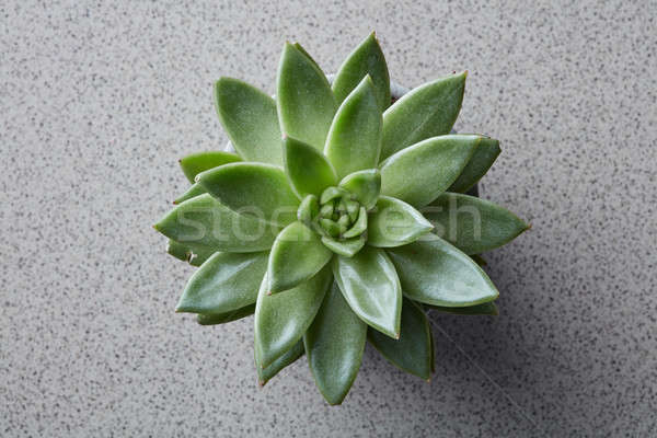 Top view of succulent plant Echeveria on a gray stone background Stock photo © artjazz