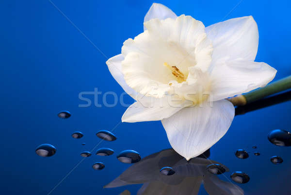 white narcissus on blue background with water drops Stock photo © artjazz