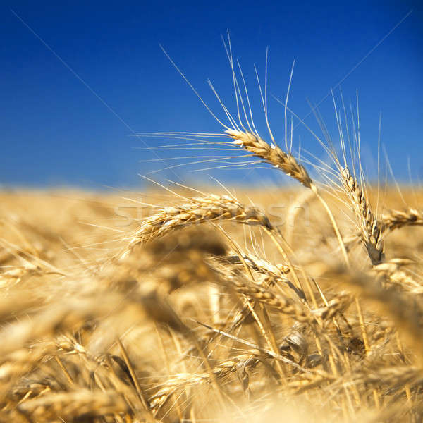 golden wheat against blue sky Stock photo © artjazz
