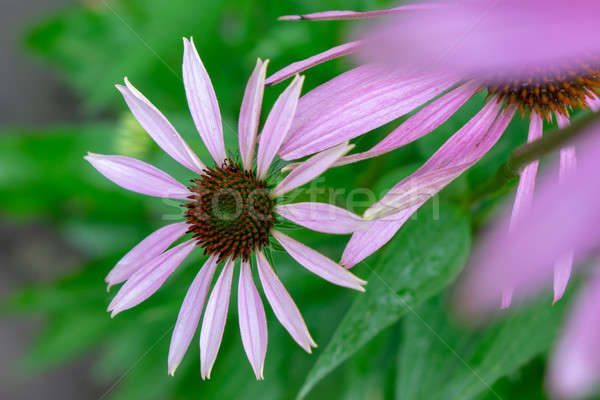 Stock photo: Flowering echinacea purpurea in the garden against the background of green grass