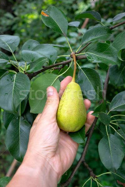 Verde rama pera rural jardín mano Foto stock © artjazz