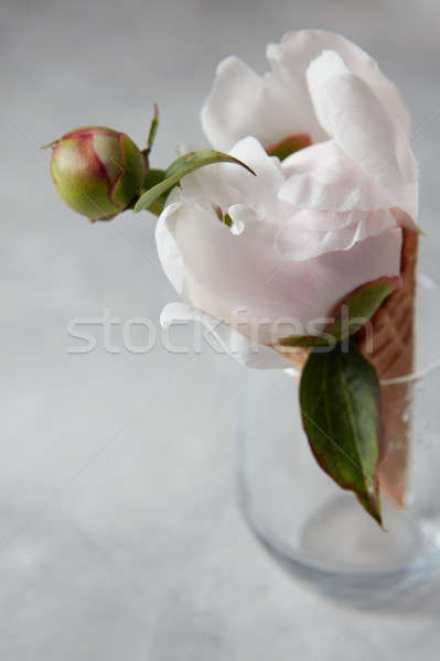 Fresh nice peony flower in a wafer horn at a vase on a gray conc Stock photo © artjazz
