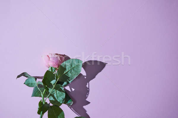 Pink rose with green leaves on a purple background Stock photo © artjazz
