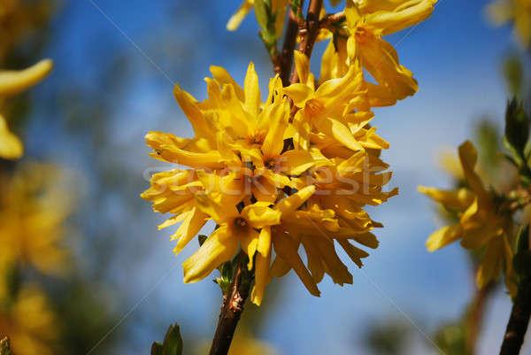 Bush fleurs photo jaune parc printemps Photo stock © Artlover