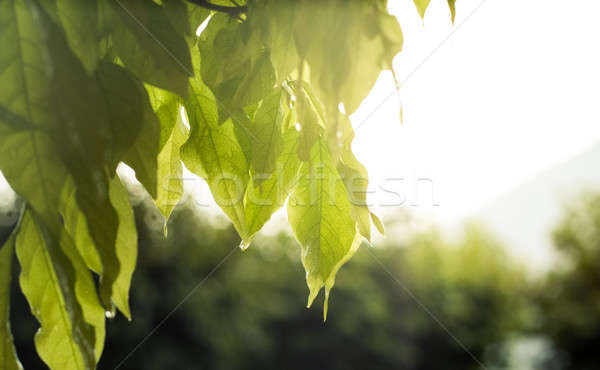 Green Leaves in Closeup Stock photo © Artlover