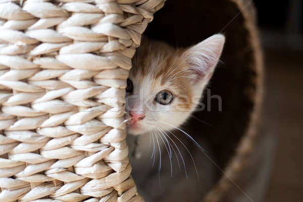 Chat cute gingembre chaton sur Photo stock © Artlover