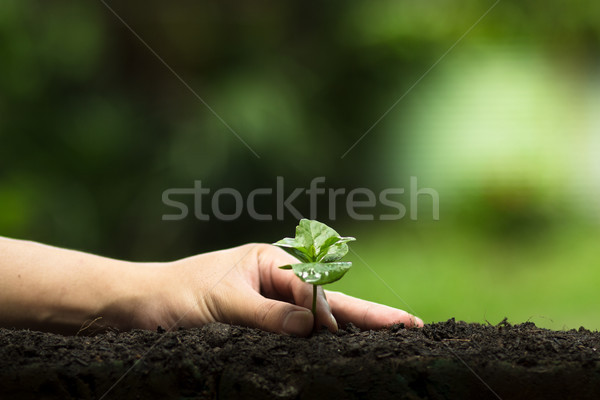 plant a tree,Grow coffee trees, freshness, hands protecting trees, watering, growing, green, Stock photo © artrachen