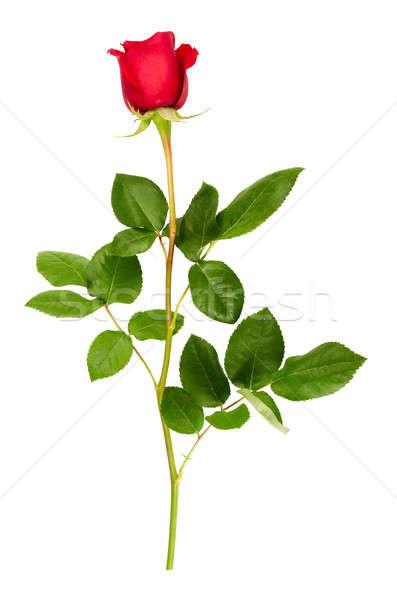 Piros rózsa izolált fehér rózsa zöld piros Stock fotó © Artspace