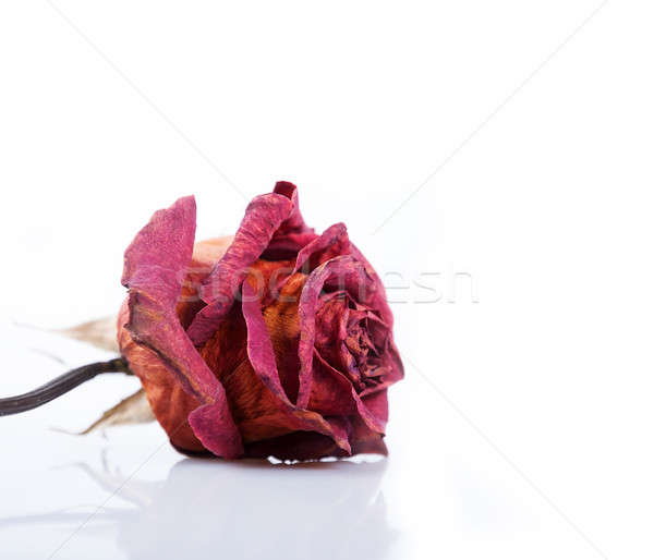 Dried red rose  Stock photo © Artspace