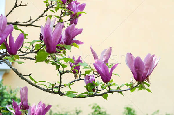 Pink magnolia flowers and green leaves Stock photo © Artspace
