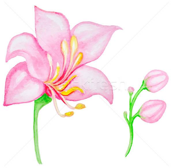 Aquarela rosa flor tropical flor primavera planta Foto stock © Artspace
