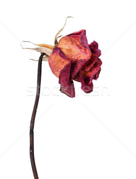 Dried rose Stock photo © Artspace
