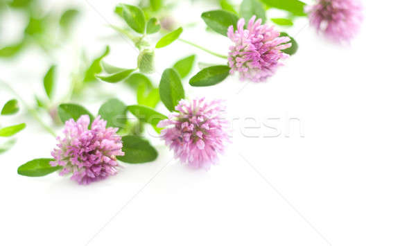 Rose trèfle floral blanche vert usine Photo stock © Artspace