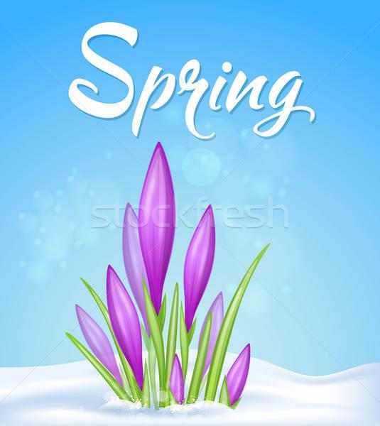 Stockfoto: Violet · krokus · sneeuw · Blauw · voorjaar · bloem