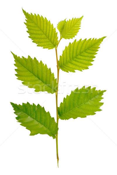 Groene tak geïsoleerd witte boom voorjaar Stockfoto © Artspace