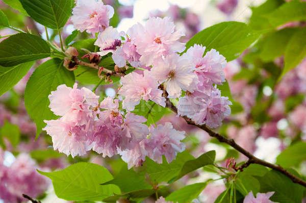 Sakura flor primavera tempo belo japonês Foto stock © Artspace