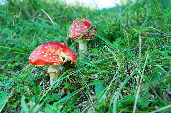 Poisonous forest mushrooms Stock photo © Artspace