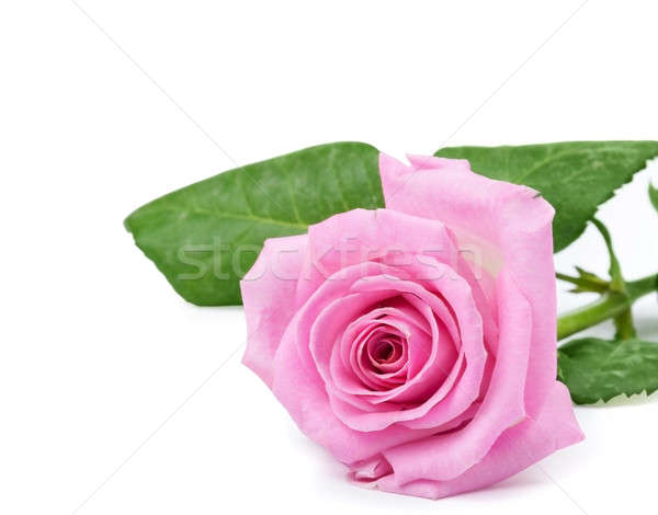 One pink rose Stock photo © Artspace