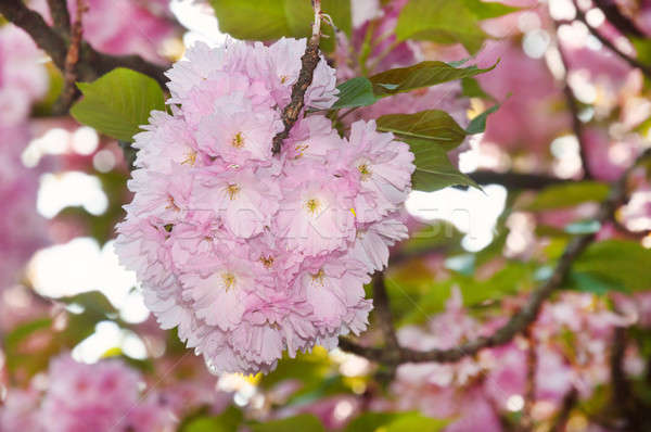 Cherry blossom in spring time Stock photo © Artspace