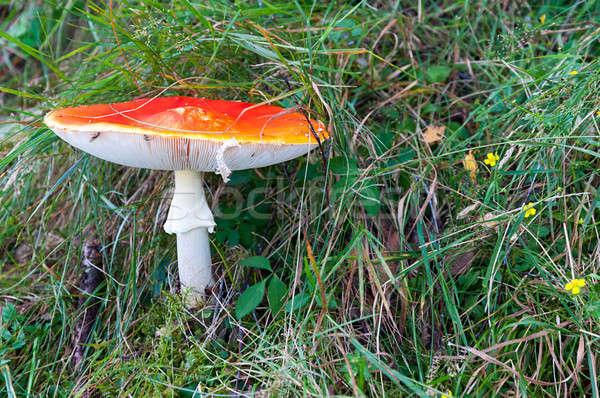 Venenoso cogumelo natureza vermelho grama verde Foto stock © Artspace