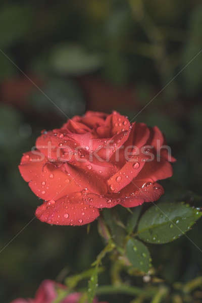 Une belle rouge corail rose vert Photo stock © artsvitlyna