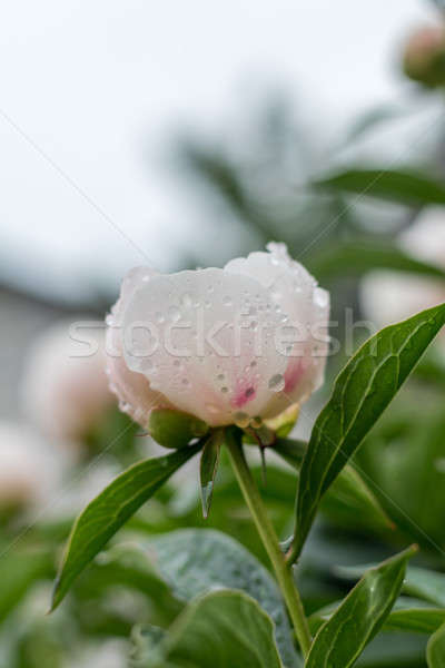Showy peony flower with dew drops Stock photo © artsvitlyna
