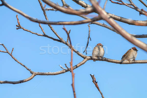 Sparrows on the branch. Sunny day. Blue sky. Beautiful early spr Stock photo © artsvitlyna
